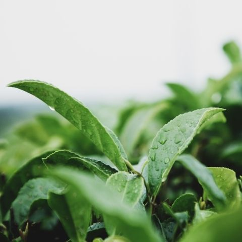 Shekou Garden in Fujian, China is the home of our Jasmine Pearls which give this sparkling tea a single garden flavour
