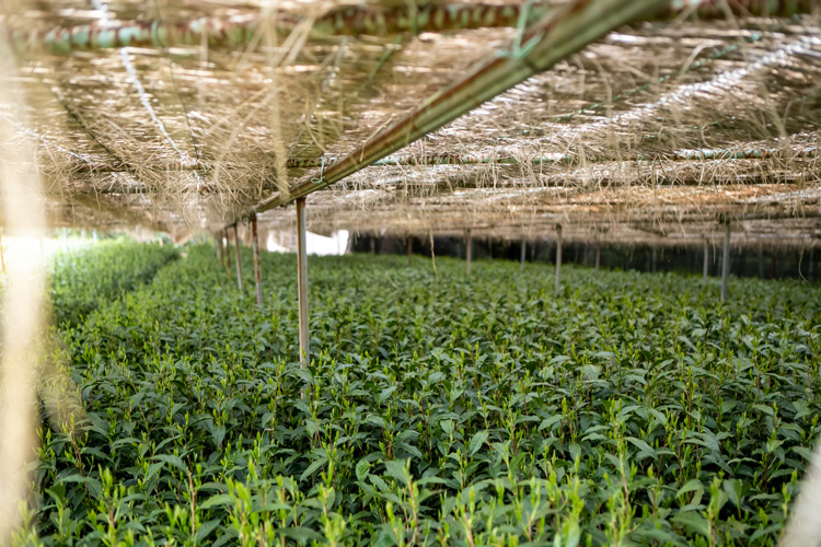 With all the screens in place the tea bushes will be shaded for around a month before harvesting. As less light reaches the bushes, a richness and deep umami taste will be induced in the leaves