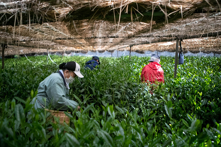 Tea picking can then begin after a few weeks of shading. All of which will be done by hand to select only the best leaves for processing
