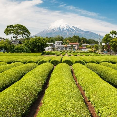 Sencha is Japan's most popular style of green tea. The leaves are picked, steamed & rolled, resulting in a vegetal tea with umami-rich flavour.