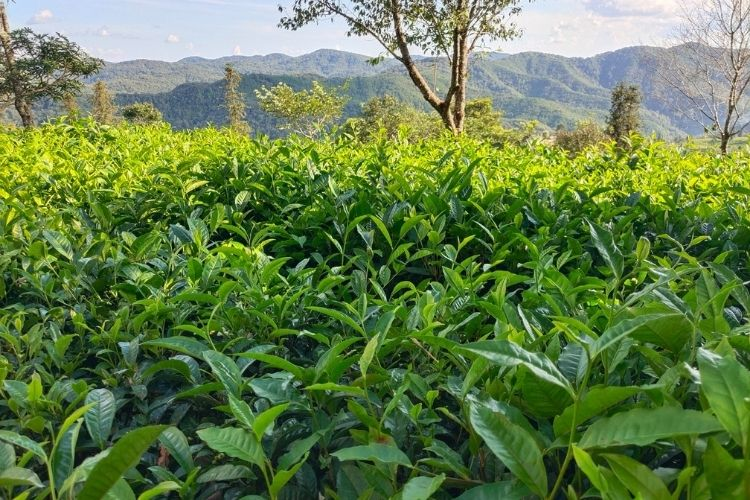 Jasmine tea was first innovated centuries ago among the tea gardens in the mountains of Fuzhou in south east China.
