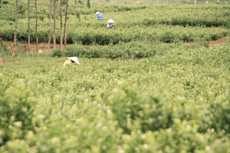 The precious jasmine flowers can only be harvested in the warmer summer months when they come into season in Fujian or Guangxi province.