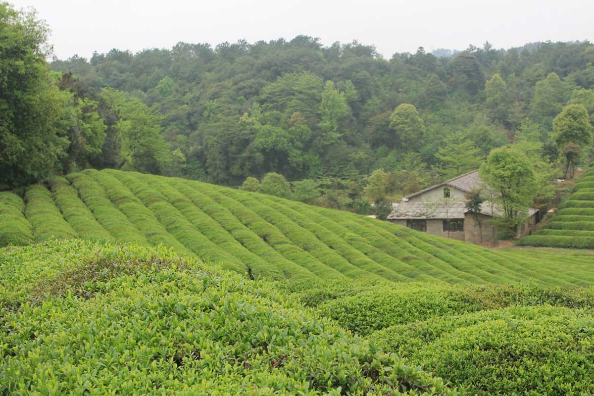 View of Hunan Silver Peak Tea Fields and Factory