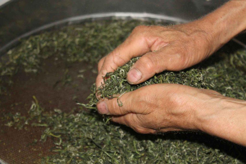 Hand-rolling-green-tea