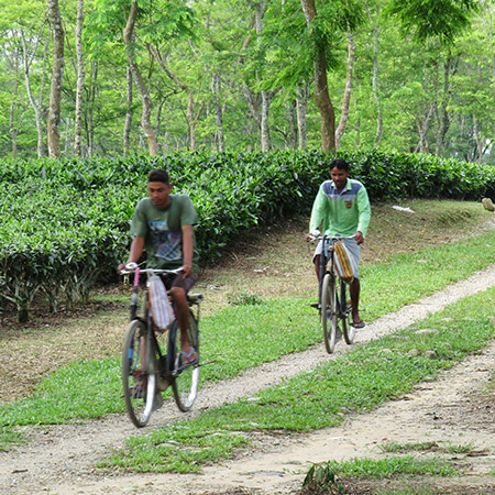 Assam gardens are relatively flat and low elevation
