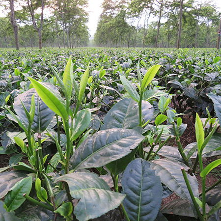 The assamica vareital of the tea bush is indigenous to Assam. Notice the large, dark green glossy leaves.