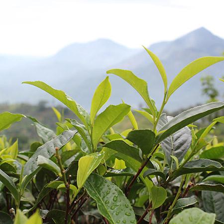 The mountains are the backdrop of the high-growning tea bush - Dimbula, Sri Lanka.