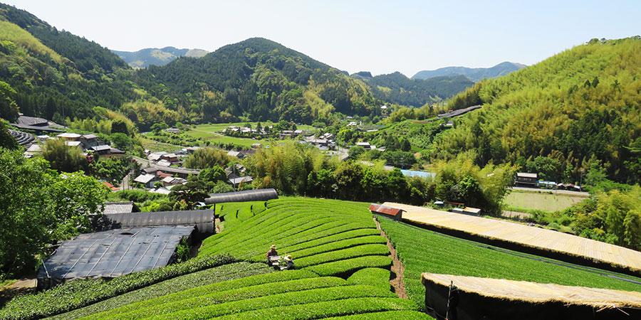 Mr & Mrs Miyazaki's luscious green tea garden in Shizuoka, Japan.