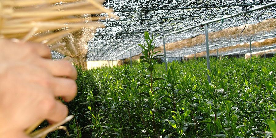 Tall Gyokuro tea plants under the shading canopy.