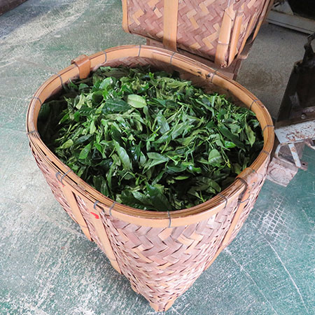 A-A basket of fresh leaves, ready for processing.asket-of-fresh-leaves,-ready-for-processing